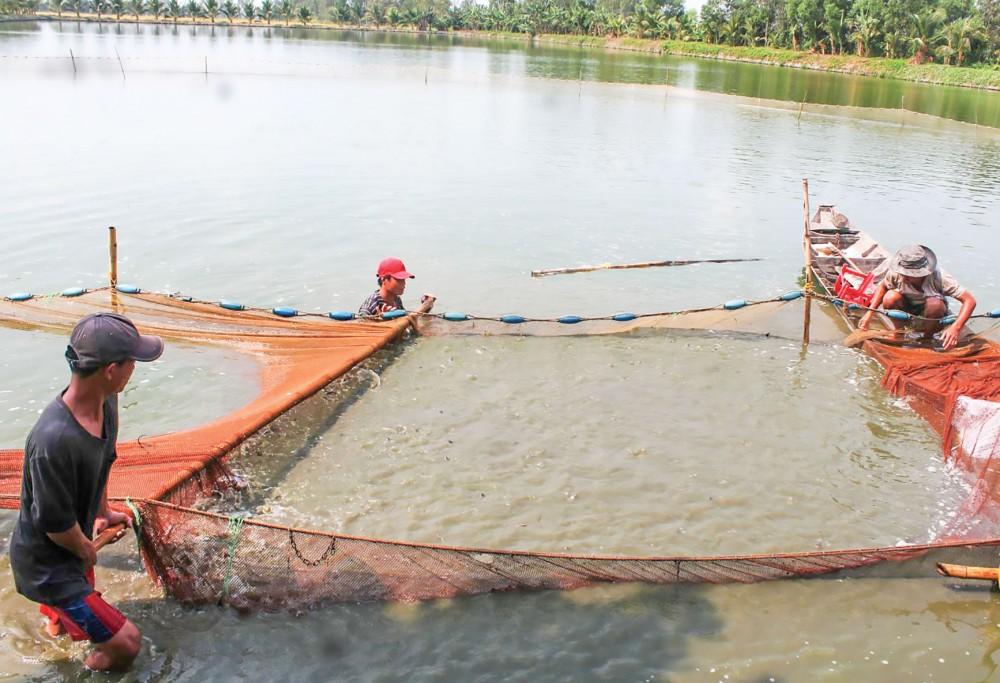 Chăm sóc cá tra giống tại một hộ dân ở xã Thới Đông, huyện Cờ Đỏ, TP Cần Thơ.