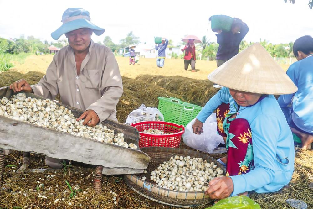 Ông Đặng Văn Đậu thu hoạch nấm rơm được sản xuất trên diện tích đất được thuê mướn ở phường Long Hưng, quận Ô Môn.