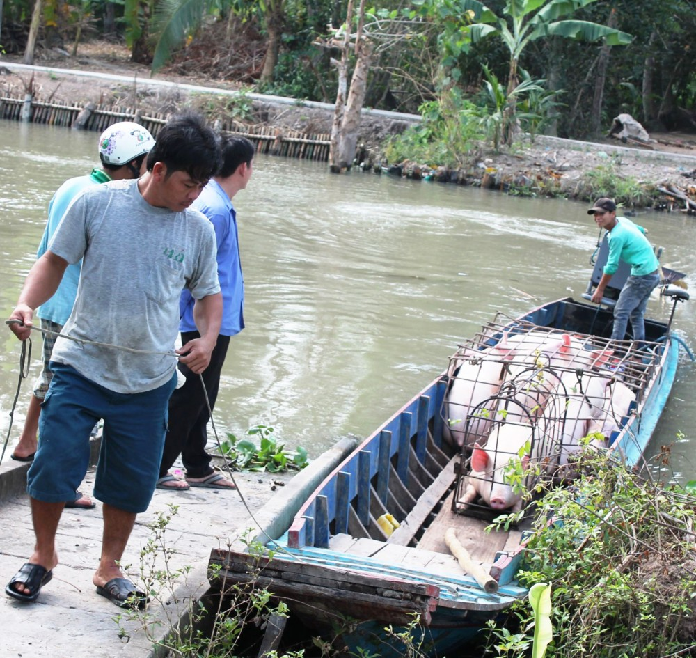 Thương lái thu mua heo hơi của người dân ở huyện Thới Lai, TP Cần Thơ.
