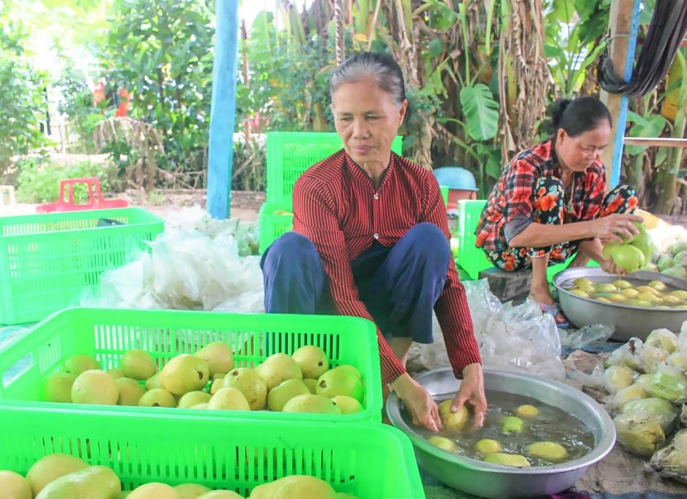 Mô hình trồng ổi giúp nhiều hộ gia đình ở xã Thới Tân có thu nhập khá, phát triển kinh tế, nâng cao mức sống. Trong ảnh: Người dân làm sạch, phân loại ổi, chuẩn bị giao cho thương lái.