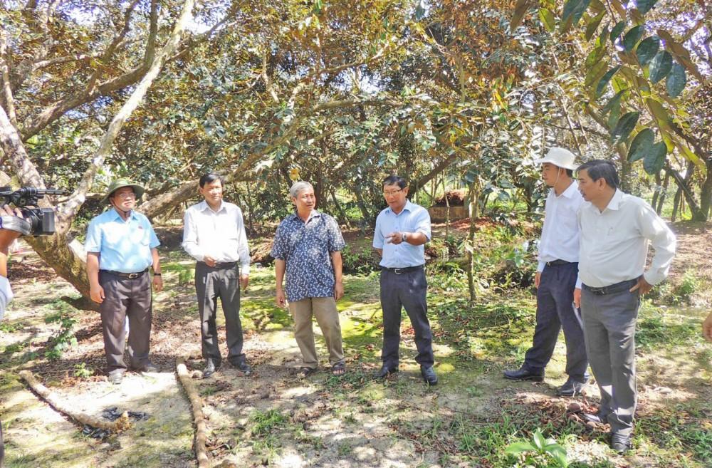 Vườn vú sữa trồng theo chuẩn VietGAP tại xã Giai Xuân, huyện Phong Điền. Ảnh: MỸ THANH
