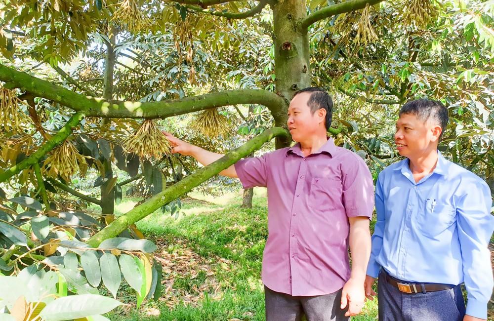 Tổ hợp tác trồng sầu riêng ấp Tân Thành, xã Nhơn Nghĩa, huyện Phong Điền có 10 thành viên được vay vốn phát triển kinh tế từ nguồn vốn Trung ương HND Việt Nam ủy thác.