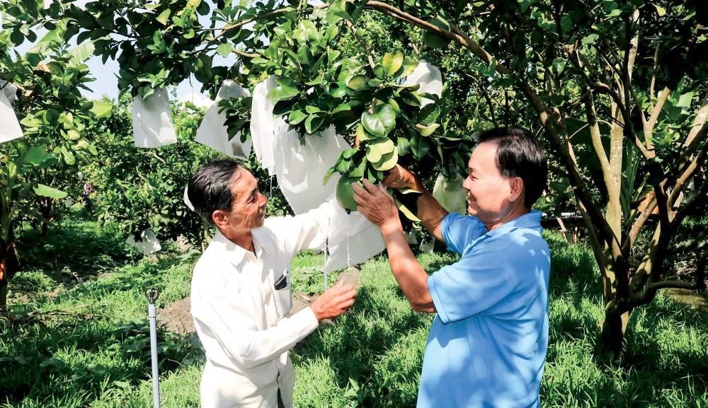 Nhà vườn trong THT bưởi da xanh, ở khu vực Thới Ngươn B, phường Phước Thới, quận Ô Môn trao đổi kỹ thuật chăm sóc trái bưởi da xanh...