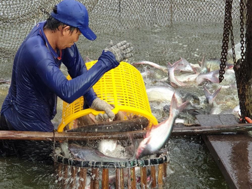 Nuôi cá tra xuất khẩu tại quận Bình Thủy.