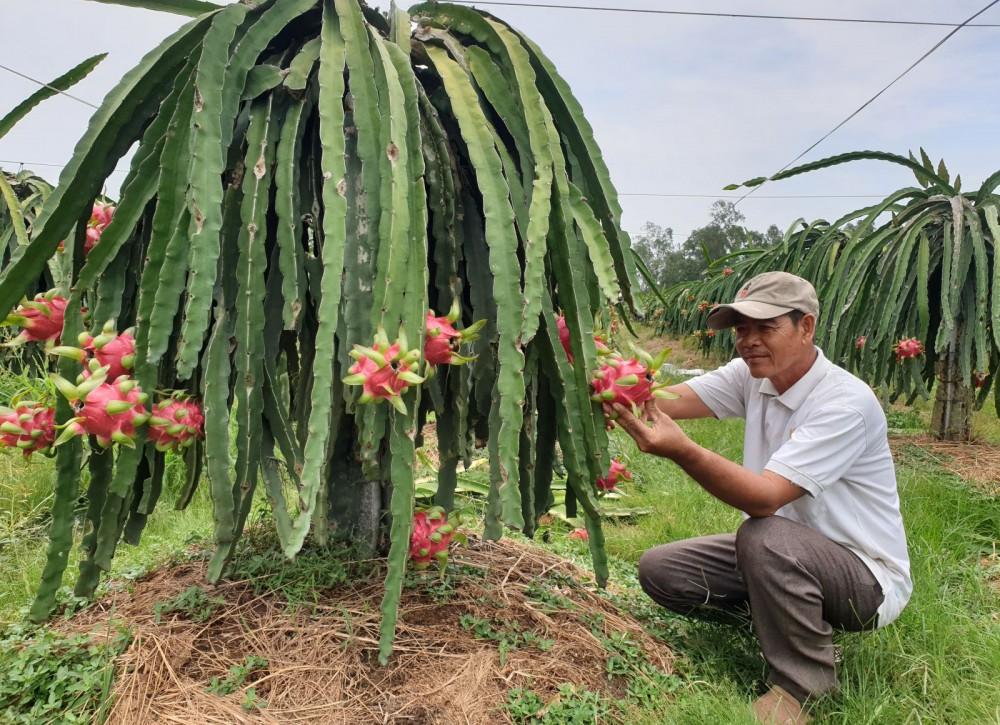 Mô hình trồng thanh long ruột đỏ tại HTX Phước Thiên giúp bà con nông dân vươn lên khấm khá.