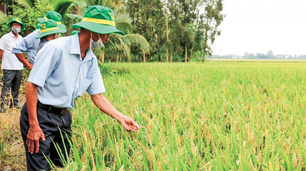 Lúa thu đông 2020 tại mô hình cánh đồng lớn của Hợp tác xã nông nghiệp Hiếu Bình ở huyện Vĩnh Thạnh, TP Cần Thơ.