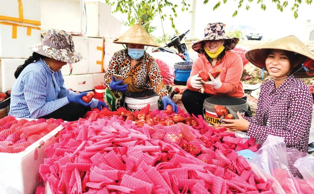 Thu hoạch mận An Phước tại quận Thốt Nốt, TP Cần Thơ.