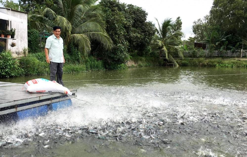 Nuôi cá tra tại Hợp tác xã Thắng Lợi, huyện Vĩnh Thạnh.