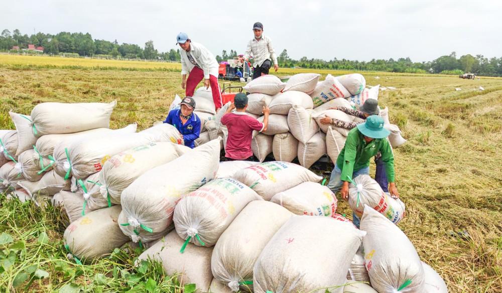 Thu hoạch lúa đông xuân 2020-2021 tại huyện Thới Lai, TP Cần Thơ.