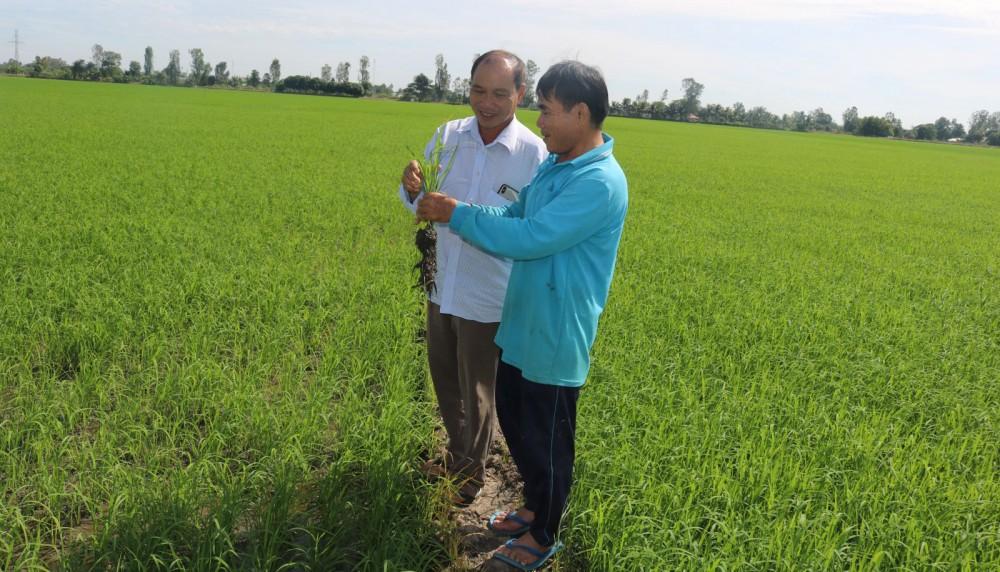 Nông dân HTX Nông nghiệp sạch Thạnh Đạt ở xã Thạnh Quới, huyện Vĩnh Thạnh chú trọng kỹ thuật canh tác lúa ngọc đỏ theo hướng an toàn đáp ứng tốt nhu cầu thị trường.