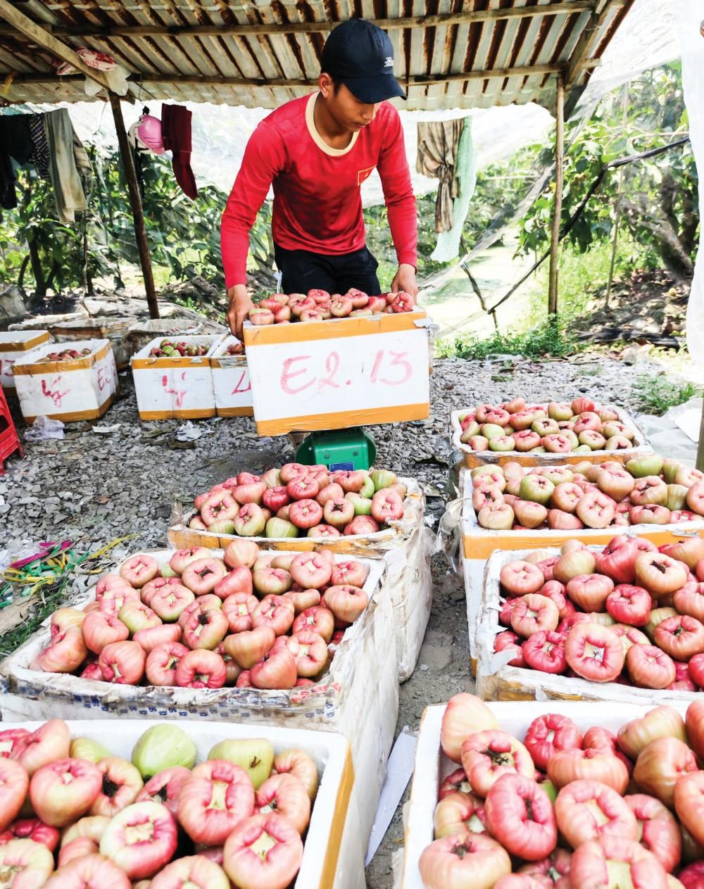 Thương lái thu mua mận hồng đào đá của nông dân tại phường Long Hưng, quận Ô Môn, TP Cần Thơ.