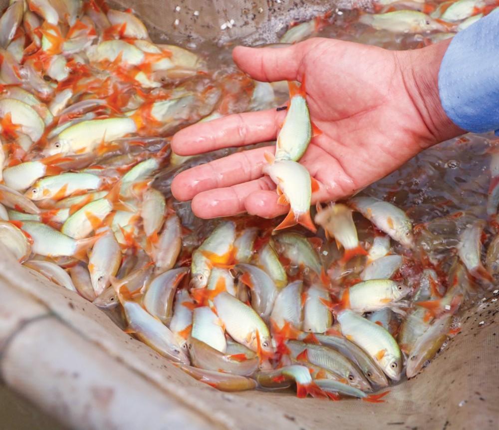 Cá heo, đặc sản vùng sông nước miền Tây, được nông dân thả nuôi thành công.