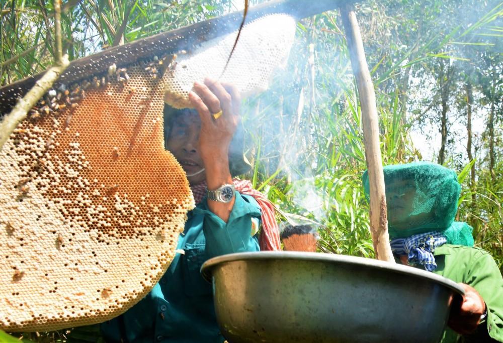 """Nghề di sản """"ăn ong"""" đã trở thành sản phẩm du lịch độc đáo tại Cà Mau. Ảnh: HIẾU NGHĨA"""