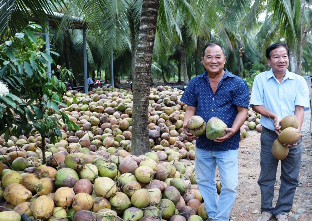 Thu hoạch dừa tại Hợp tác xã nông nghiệp Lộc Thuận ở xã Lộc Thuận, huyện Bình Đại, tỉnh Bến Tre.