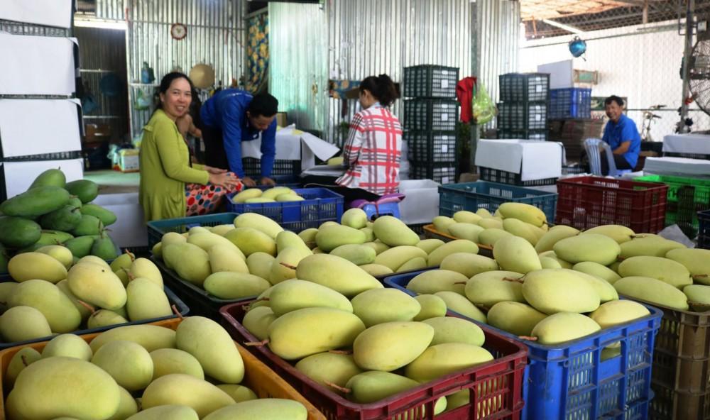 Thu mua xoài tại một vựa trái cây ở xã Thới Hưng, huyện Cờ Đỏ, TP Cần Thơ.