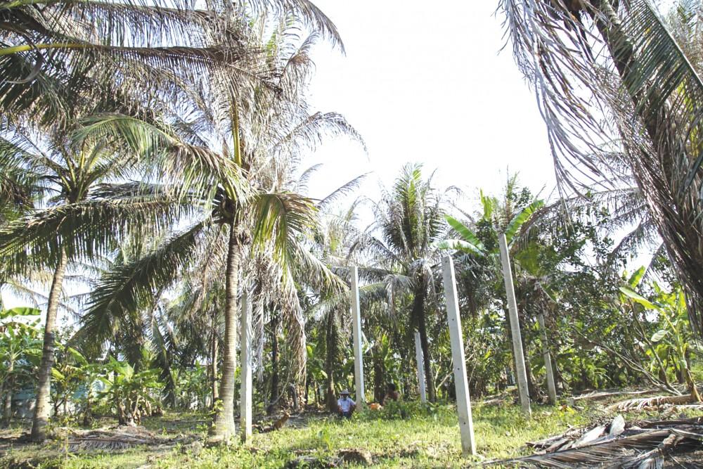 Sâu đầu đen gây thiệt hại từ 70-80% trên vườn dừa chúng xuất hiện.
