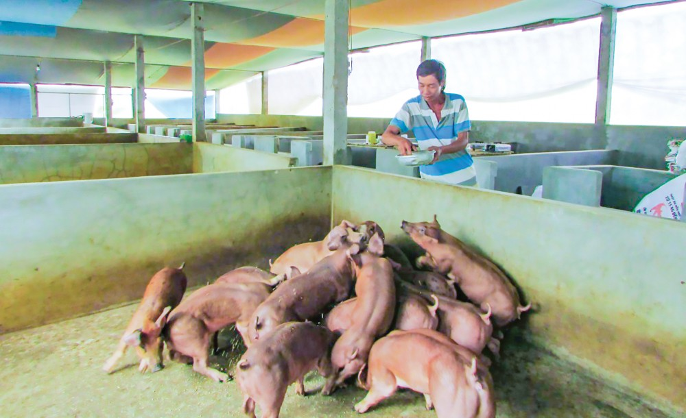 Chăn nuôi heo theo mô hình an toàn sinh học được phát triển tại huyện Vĩnh Thạnh.