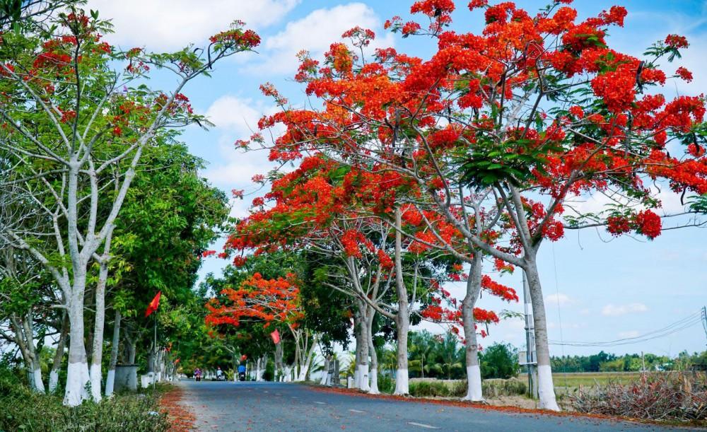 Tuyến đường hoa phượng dẫn vào Đền thờ Bác Hồ ở xã Châu Thới, huyện Vĩnh Lợi, tỉnh Bạc Liêu.