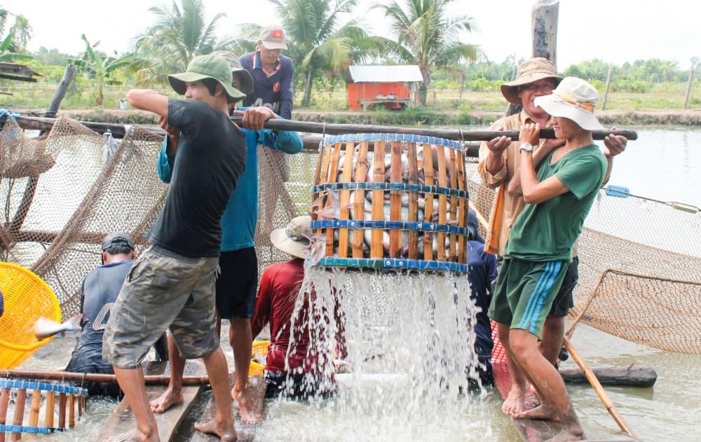 Thu hoạch cá tra tại quận Thốt Nốt, TP Cần Thơ.