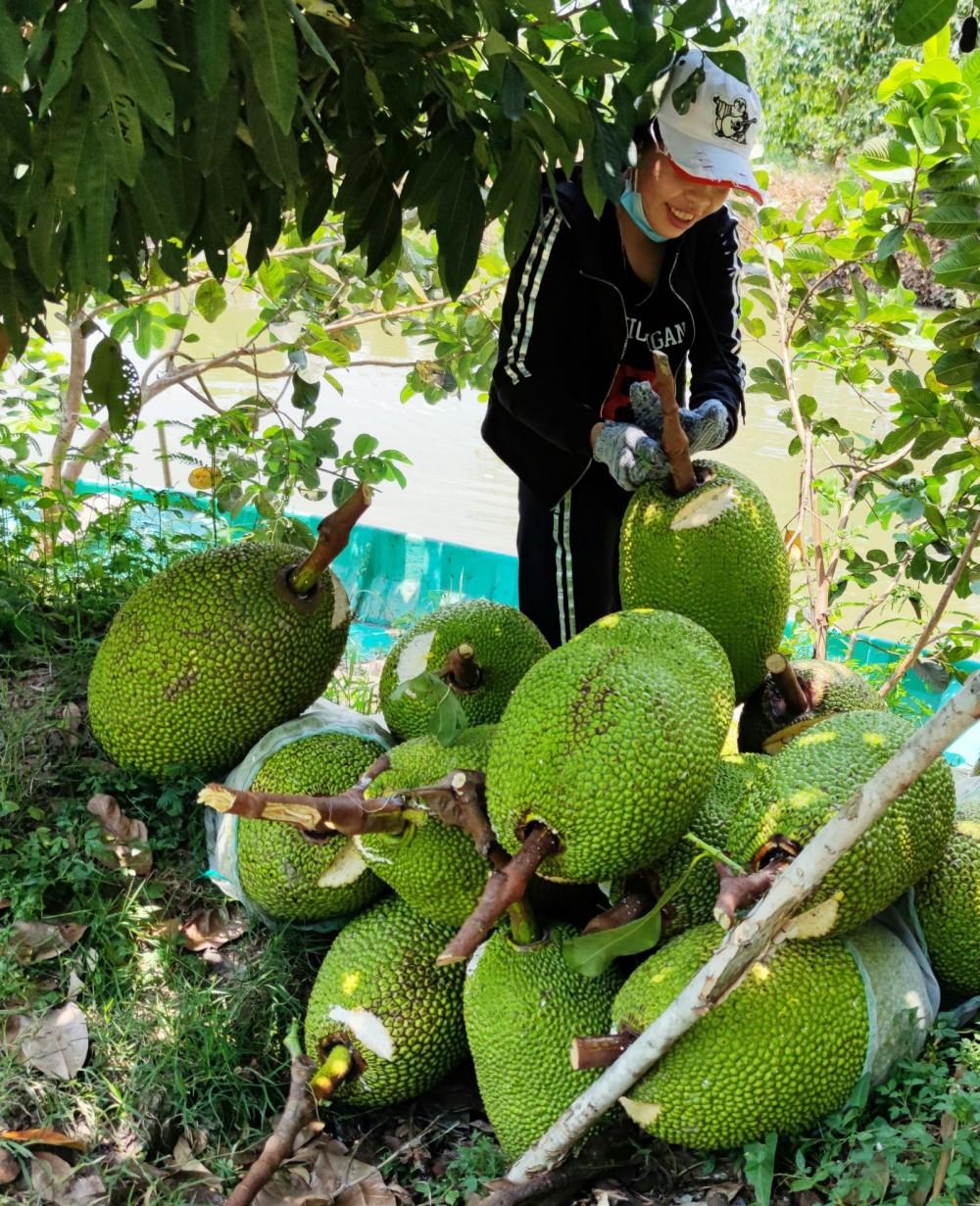 Thu hoạch mít Thái tại vườn của một hộ dân ở huyện Cờ Đỏ, TP Cần Thơ.
