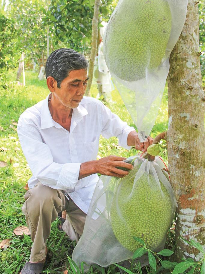 Nông dân ĐBSCL đang gặp khó khăn vì giá mít Thái sụt giảm.