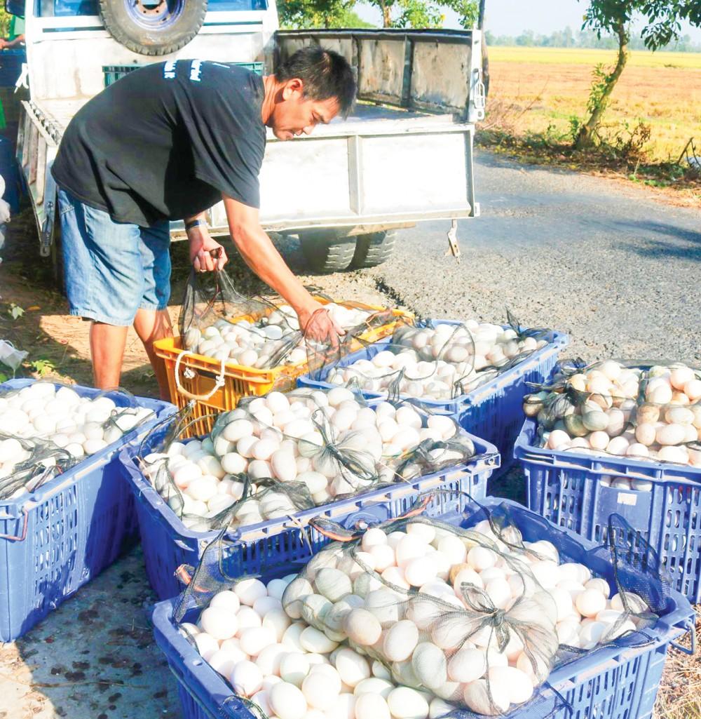 Thương lái thu mua trứng vịt của người dân ở huyện Vĩnh Thạnh, TP Cần Thơ.