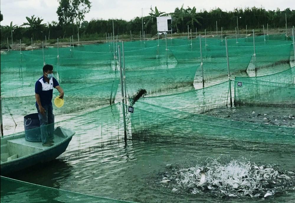 Vùng nuôi cá thát lát theo tiêu chuẩn Global GAP tại xã Đông Bình, huyện Thới Lai.