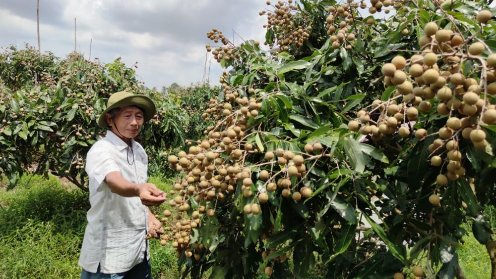 Nhãn Ido có thể xử lý cho ra trái quanh năm, trong khi nhãn xuồng cơm vàng và thanh nhãn thường chỉ ra trái tự nhiên theo mùa. Trong ảnh: Nhãn Ido được trồng tại một hộ dân ở huyện Thới Lai, TP Cần Thơ.