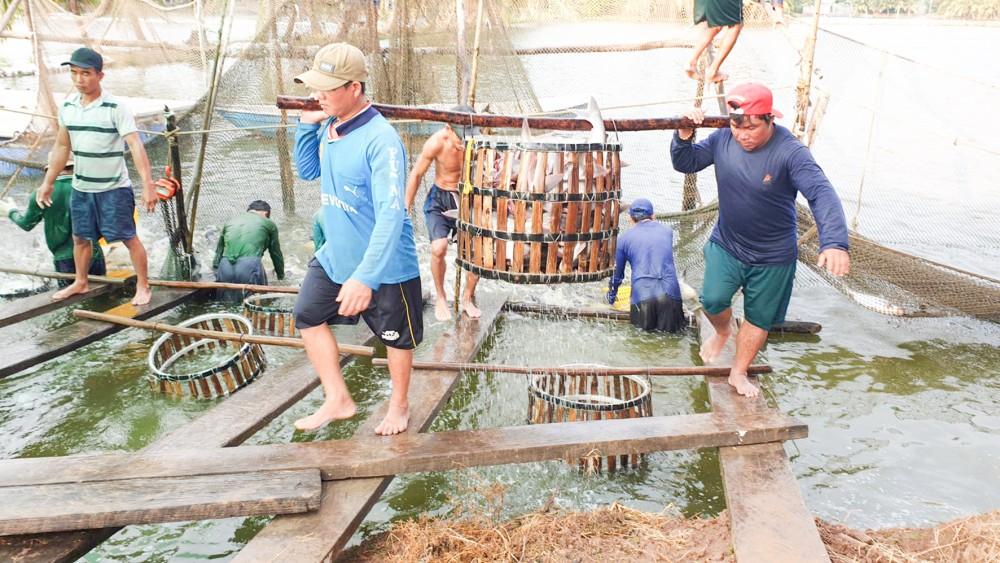 Thu hoạch cá tra tại một hộ dân trên địa bàn quận Bình Thủy.