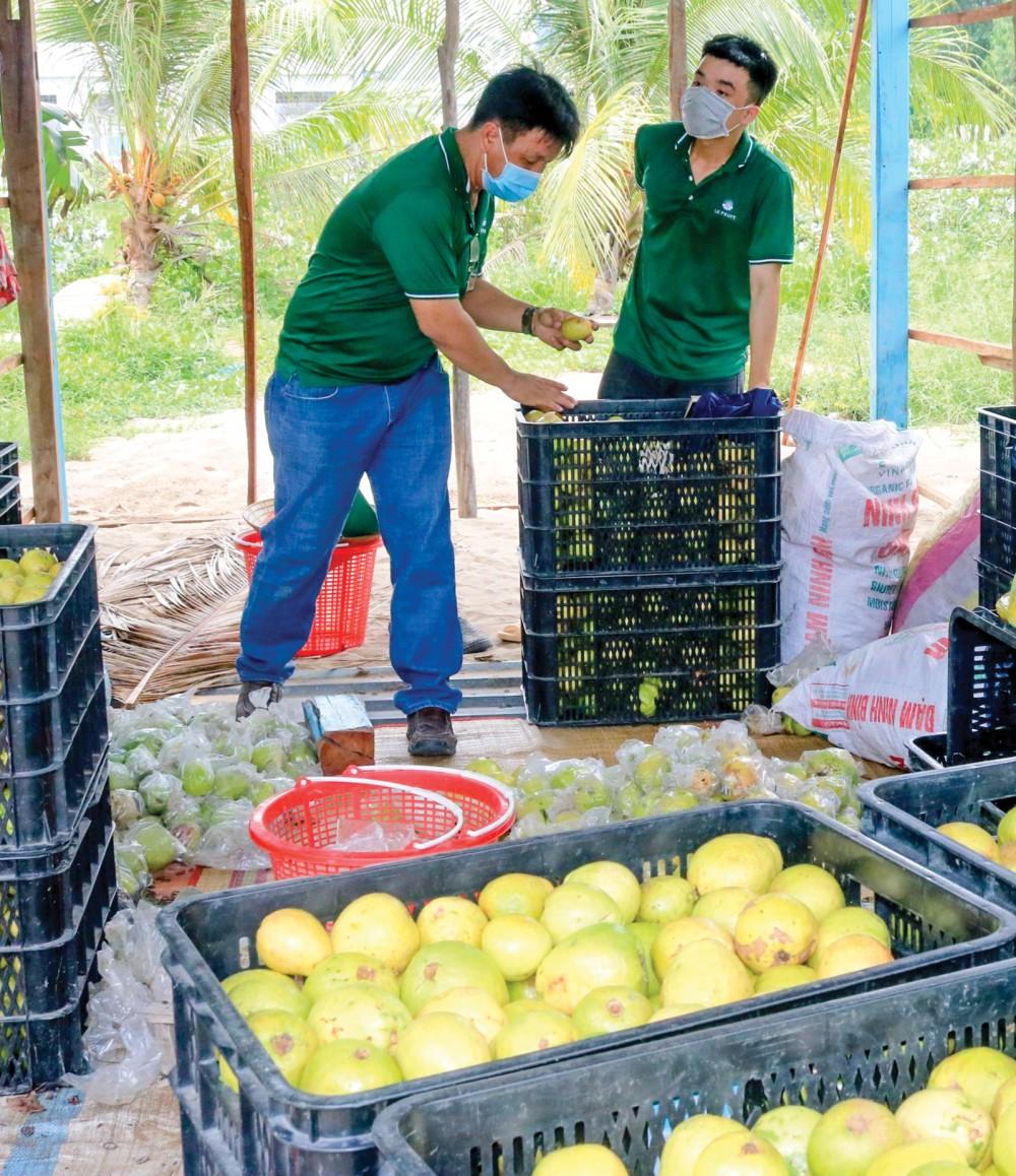 Đến nay, TP Cần Thơ được cấp có 59 mã số vùng trồng cho cây ăn trái. Trong ảnh: doanh nghiệp thu mua ổi của nông dân tại huyện Thới Lai.