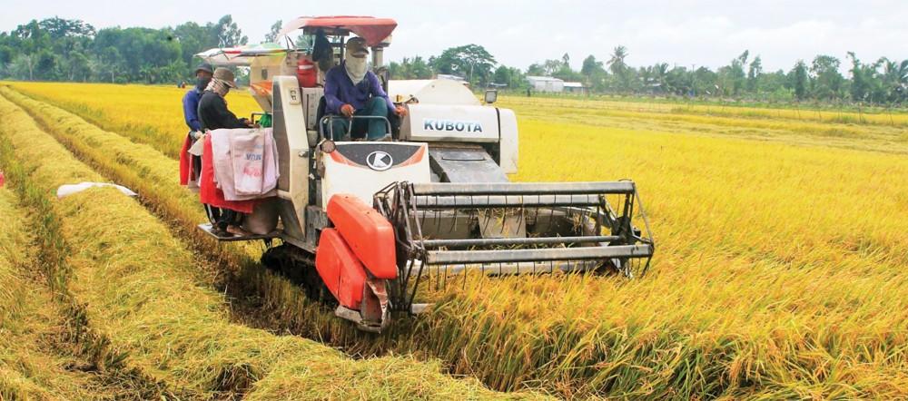Thu hoạch lúa bằng máy gặt đập liên hợp tại huyện Thới Lai.