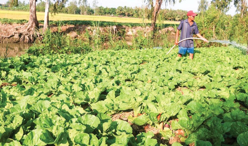 Nông dân ở huyện Vĩnh Thạnh, TP Cần Thơ chăm sóc vườn rau.