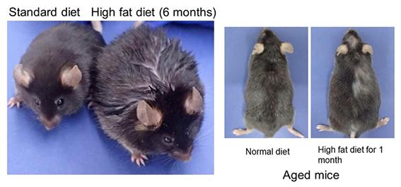 Chuột nuôi bằng chế độ ăn tiêu chuẩn (trái) và chuột nuôi bằng chế độ ăn nhiều chất béo (phải).