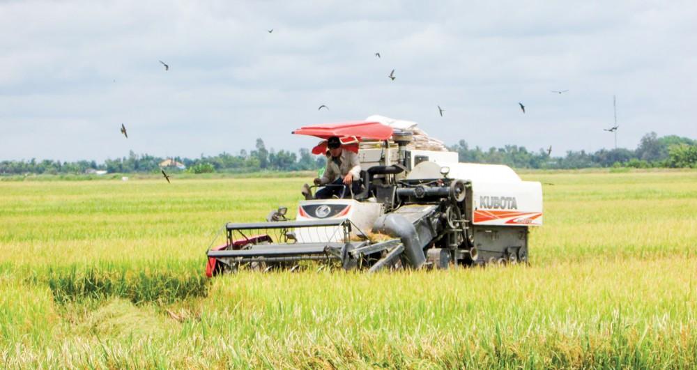 Thu hoạch lúa thu đông trên địa bàn huyện Vĩnh Thạnh.