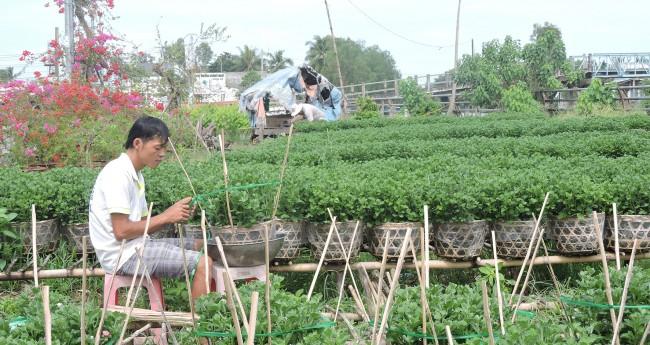 Vụ hoa Tết này, ông Nguyễn Văn Mười, khu vực Bình Phó B, phường Long Tuyền, quận Bình Thủy, trồng khoảng 1.800 chậu hoa các loại. Ngoài 3 lao động của gia đình, những đợt lặt chèo, bấm nụ phụ, ông Mười thuê thêm từ 3-4 lao động. (Trong ảnh: Con trai ông Mười ghim cây giúp giữ tán cúc Đài Loan). Ảnh: MỸ TÚ