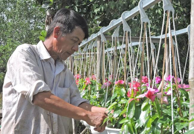 Ngoài 3.000 chậu hoa Tết, năm nay, ông Huỳnh Văn Bằng, khu vực Bình Phó B, phường Long Tuyền, quận Bình Thủy nhận cung cấp cho các cửa hàng kinh doanh hoa kiểng nội ô TP Cần Thơ một số loại hoa: dừa cạn, cúc đồng tiền, dạ yên thảo, kim cúc, hoa chuông. (Trong ảnh: Ông Bằng chăm sóc khoảng 100 chậu hoa dừa cạn chuẩn bị giao khách hàng). Ảnh: MỸ TÚ