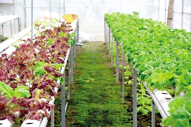 Ban đầu  chị trồng rau thủy canh trong nhà lưới chỉ để có rau sạch phục vụ nhu cầu cho gia đình hằng ngày. Đến nay diện tích trồng rau thủy canh trong nhà lưới đã phát triển lên 1.500m2, vốn đầu tư trên 500 triệu đồng trở thành nơi đầu tiên ở địa phương cung ứng nguồn rau sạch, an toàn cho người tiêu dùng.