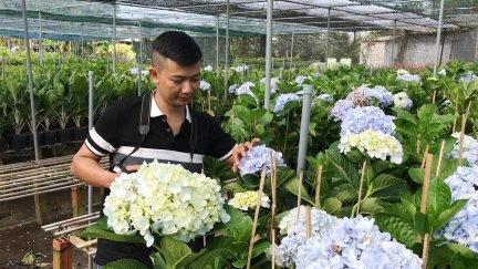 Vườn hoa cẩm tú cầu ở miền Tây