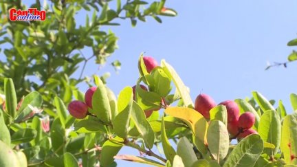 """[Những mô hình nuôi trồng """"độc, lạ"""" ở miền Tây]-Về Cần Thơ ngắm bonsai sirô"""