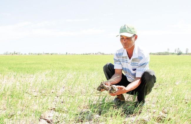 Hạn hán, XNM đã làm hơn 2.000ha lúa đông xuân muộn tại huyện Long Phú (tỉnh Sóc Trăng) bị thiệt hại, mất trắng. Trong ảnh: Người dân tiếc nuối ruộng lúa đông xuân muộn không phát triển được do thiếu nước ngọt.