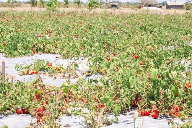 Rẫy cà chua của người dân ở huyện Long Phú, Sóc Trăng bị chết khô do thiếu nước ngọt.