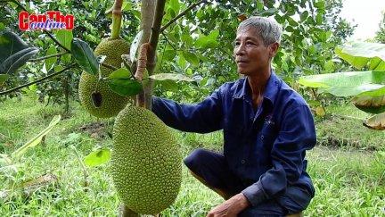 Ồ ạt trồng mít Thái