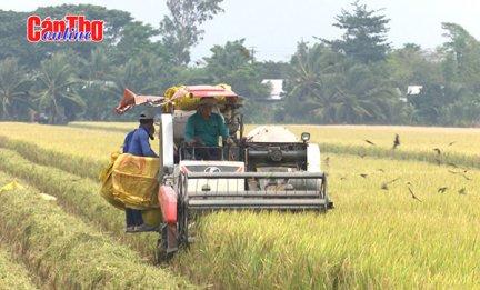 Giá lúa thu đông cao, nông dân phấn khởi
