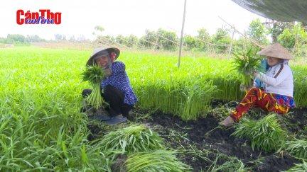 Nông dân liên kết trồng rau an toàn