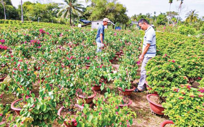 Tại xã Phú Sơn, huyện Chợ Lách, nông dân chuẩn bị cả triệu chậu bông giấy với nhiều màu sắc đã bắt đầu ra hoa.