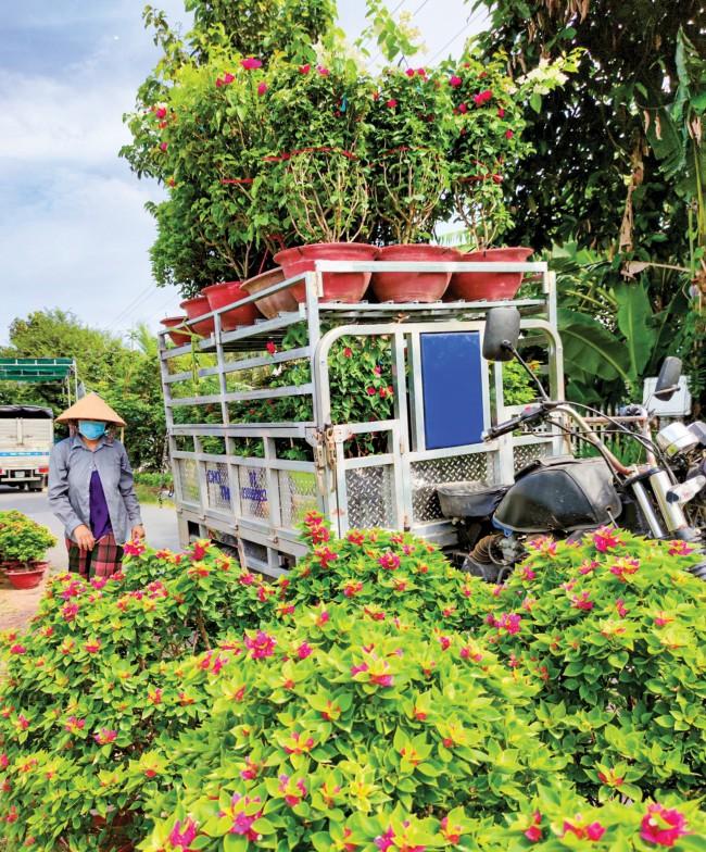 Thương lái đã bắt đầu thu mua một số loại hoa kiểng ở Chợ Lách.