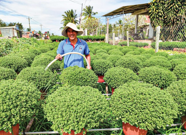 Năm nay, nông dân xã Long Thới, huyện Chợ Lách duy trì trồng cúc mâm xôi truyền thống, thời điểm này các chậu mâm xôi đã xanh tươi.