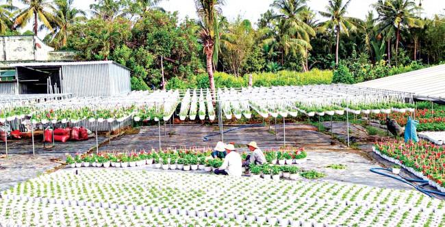 Nhiều nhà vườn trồng hoa kiểng tại làng hoa kiểng Cái Mơn, xã Vĩnh Thành, huyện Chợ Lách cũng sản xuất thêm nhiều loại hoa trồng trong chậu treo để đáp ứng nhu cầu thị trường.