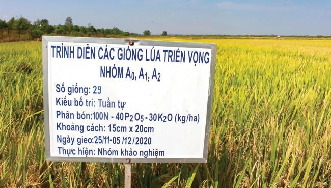 Vụ đông xuân 2020-2021, Viện Lúa trình diễn 29 giống lúa triển vọng thuộc nhóm A0 (thời gian sinh trưởng dưới 95 ngày), A1 (thời gian sinh trường từ 95 đến 109 ngày) và A2 (từ 110-125 ngày). Nhiều giống lúa được đánh giá cao nhờ thích nghi với các vùng sinh thái và cả 3 vụ ở các tỉnh ĐBSCL.