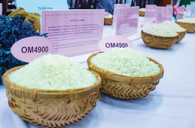 Gạo thành phẩm của giống lúa OM 4900, một trong những giống lúa đang được canh tác rộng rãi ở ĐBSCL.